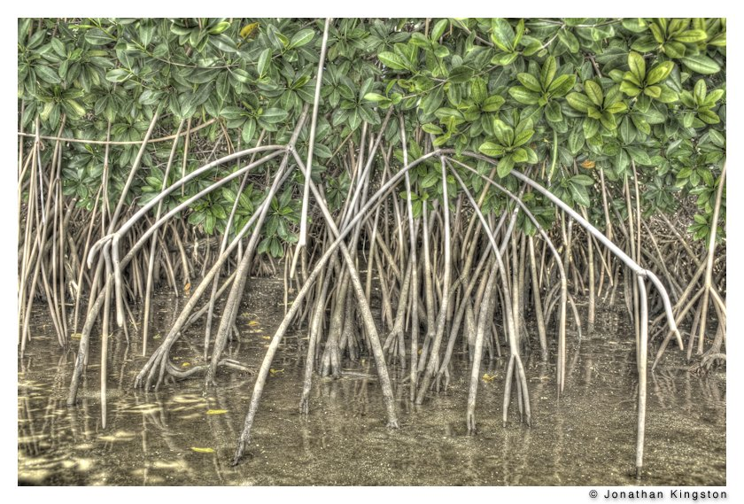 Mangrove roots, Molokai, Hawaii