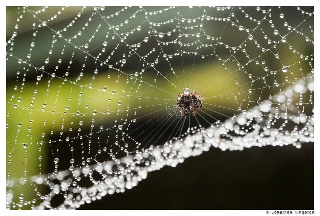 Crab spider hanging on to a rain covered web, Molokai, Hawaii