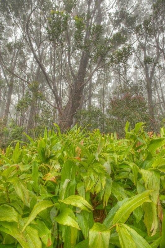 Trees and fog, Kamakou Nature Preserve, Molokai, Hawaii
