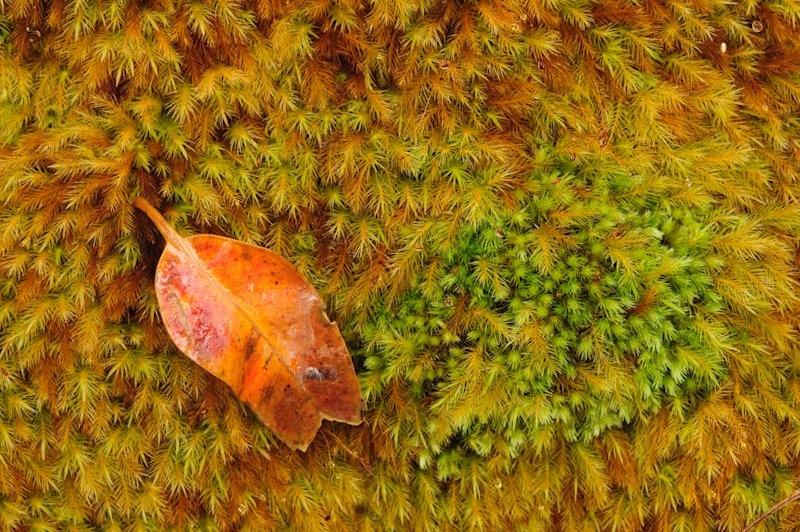 Leaf and moss, Kamakou Nature Preserve, Molokai, Hawaii