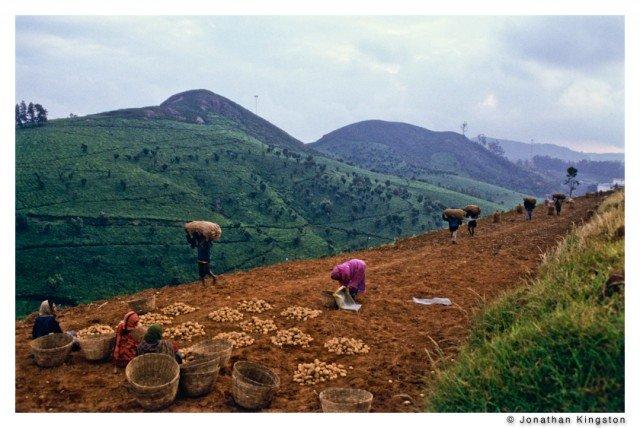 Potato harvest in Tamil Nadu, southern India.